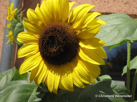 © Christiane Weismüller_sunflower
