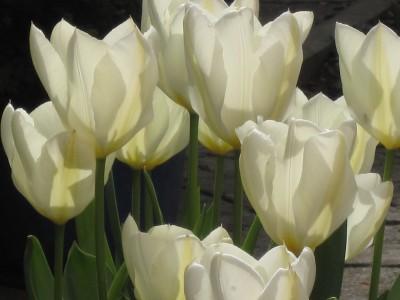 """Tulpen """"Purisssima"""""""